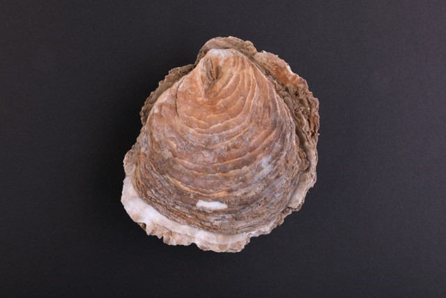 Historical oyster shells