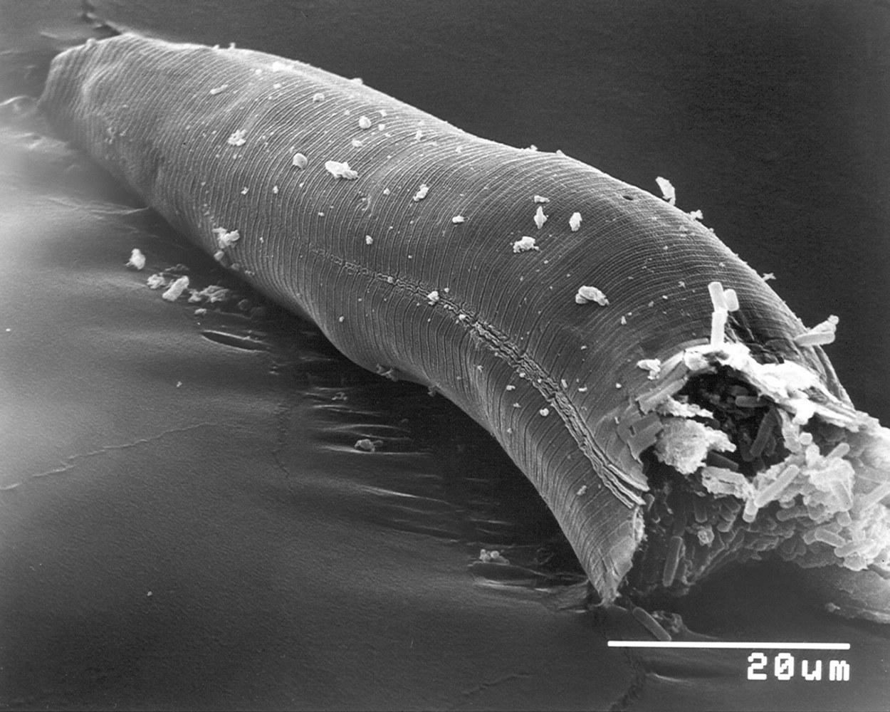 Elektronenmikroskopische Aufnahme von einem Fadenwurm, der mit dem pathogenen Bakterium Bacillus thuringiensis infiziert ist. Das Bild zeigt das Vorderende des Fadenwurms, der in der Mitte aufgebrochen wurde. Im Inneren des Wurms erkennt man eine große Anzahl der länglich ovalen Bakterien, die sich während der Infektion umfangreich vermehrt haben und dabei alle inneren Strukturen und Organe zerstört haben. Foto: PNAS, Copyright: PNAS.