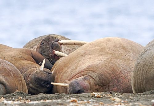 Atlantic walruses