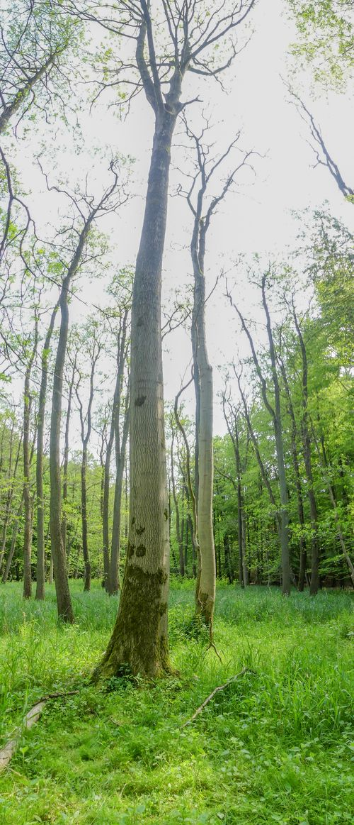woodland with dead ash trees