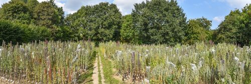 350 quinoa varieties are growing in the experimental field of the Institute of Crop Science and Plant Breeding in Kiel.