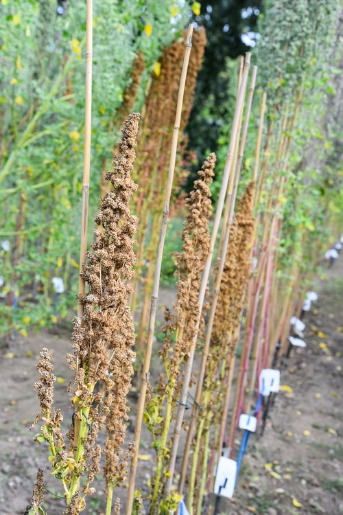 Quinoa cultivation in the experimental field