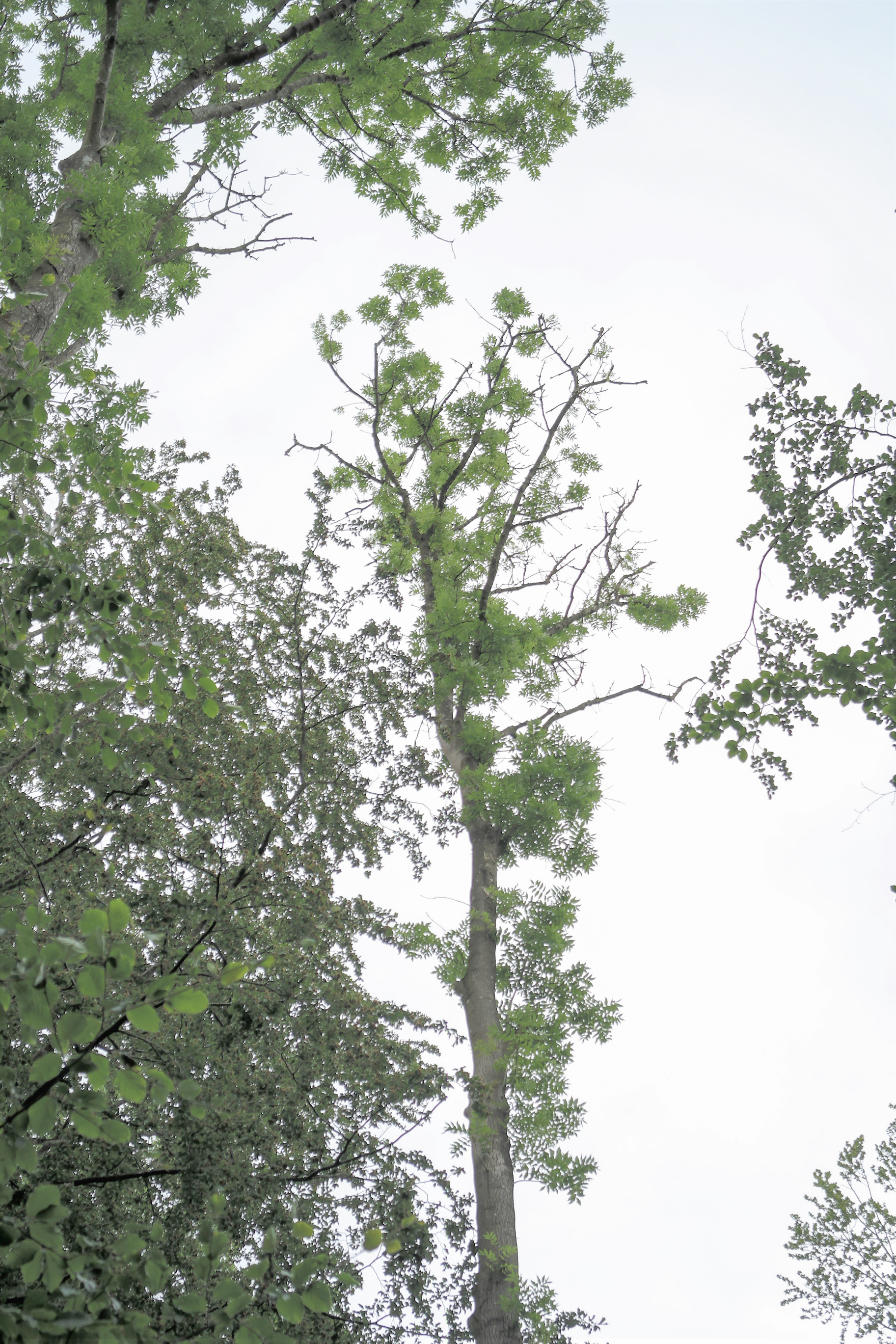 severely damaged ash tree