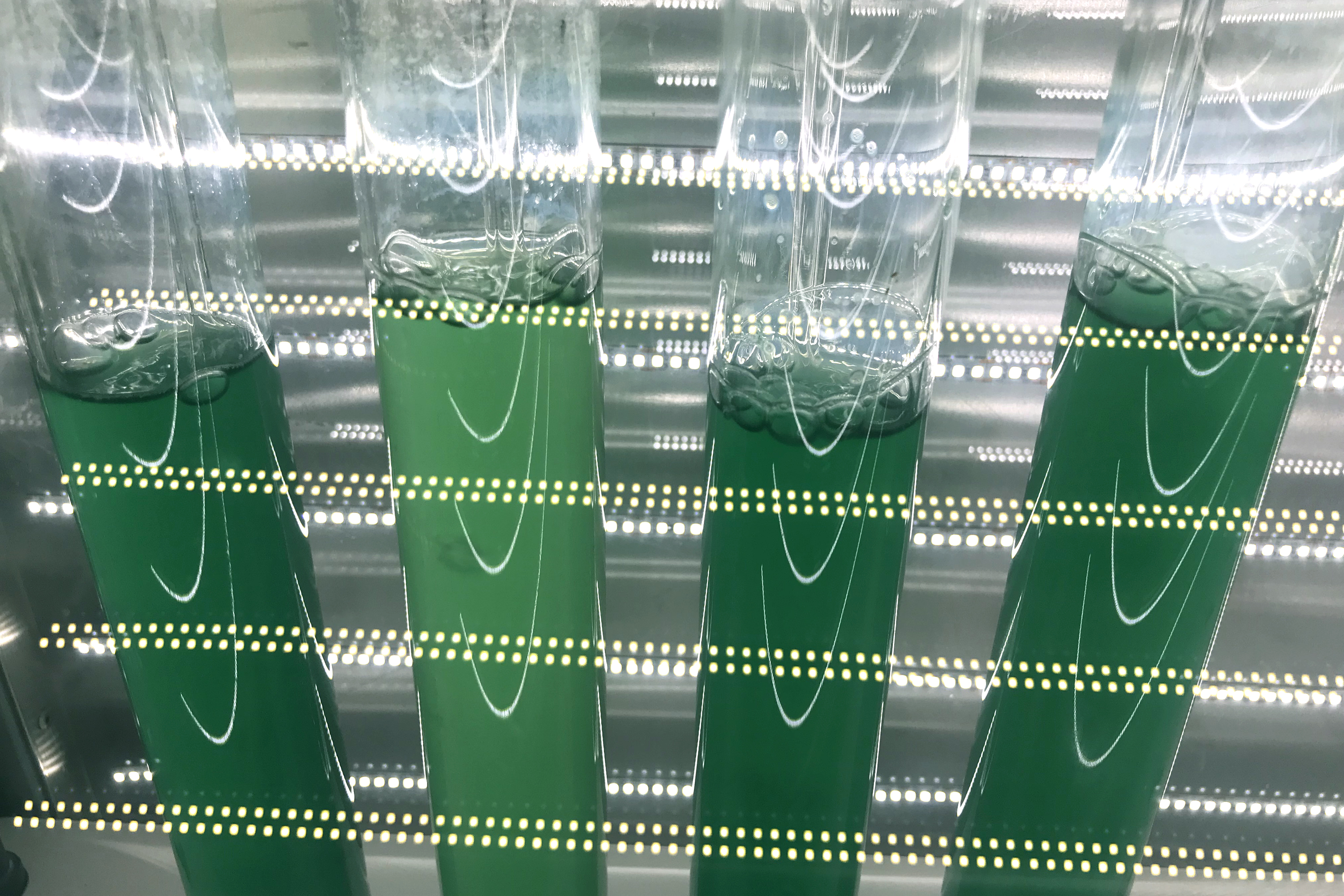 Glass containers with cyanobacteria