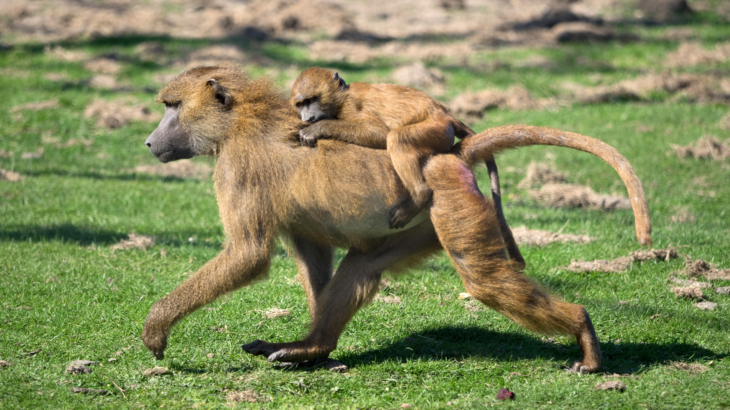 A baboon carrying a cub on its back